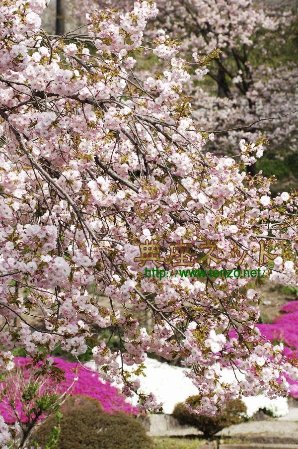 ボタン桜1