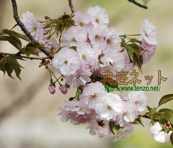 ボタン桜2