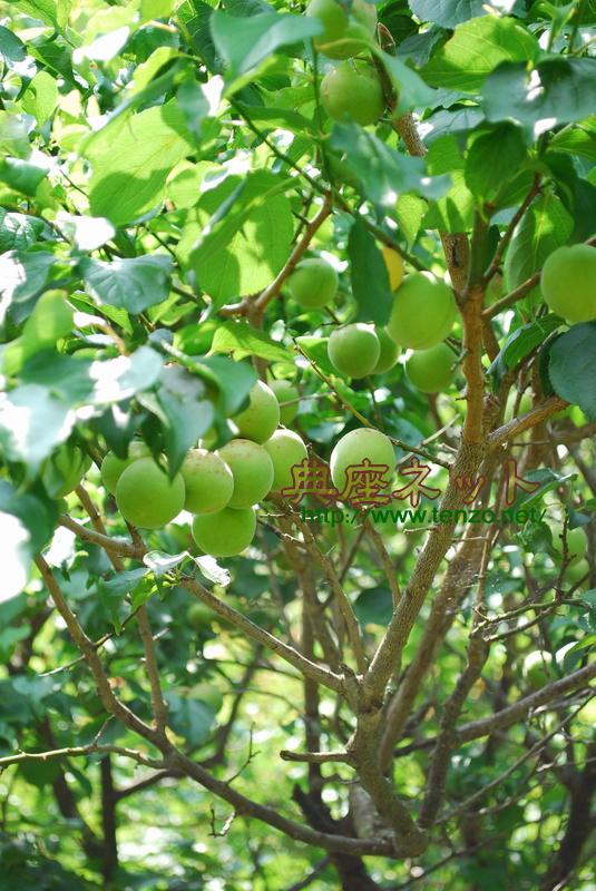梅の木に実が